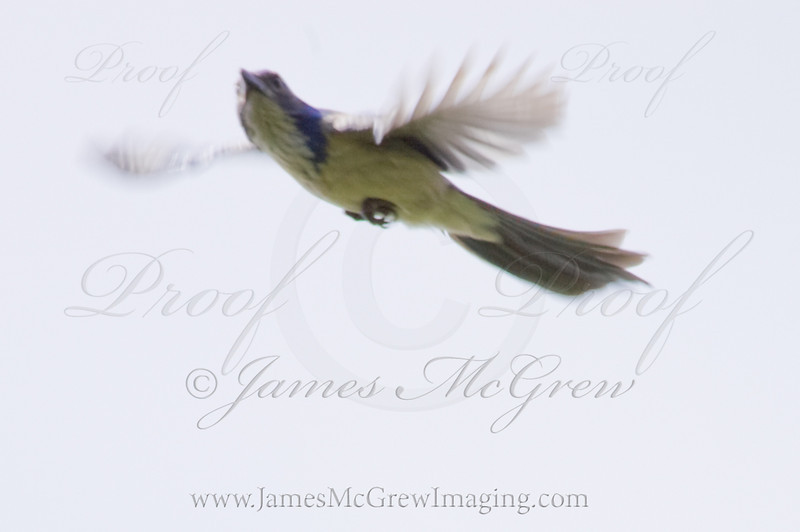 Scrub Jay takes flight