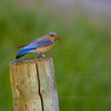 My best photograph of our team's actual mascot; A Female Western Bluebird, Dundee HIlls, OR.  Copyright, ©2009 James McGrew