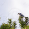Western Scrub Jay atop a pine tree near my studio.