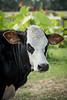 Cows1-5