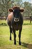 Cows1-3