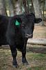 Cows1-4
