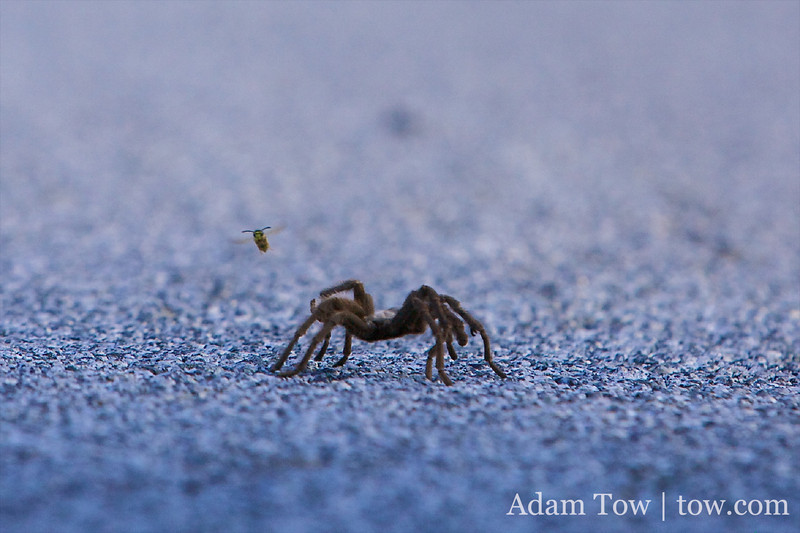 Battle Royale: Tarantula versus Bee