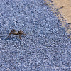Why did the tarantula cross the road?