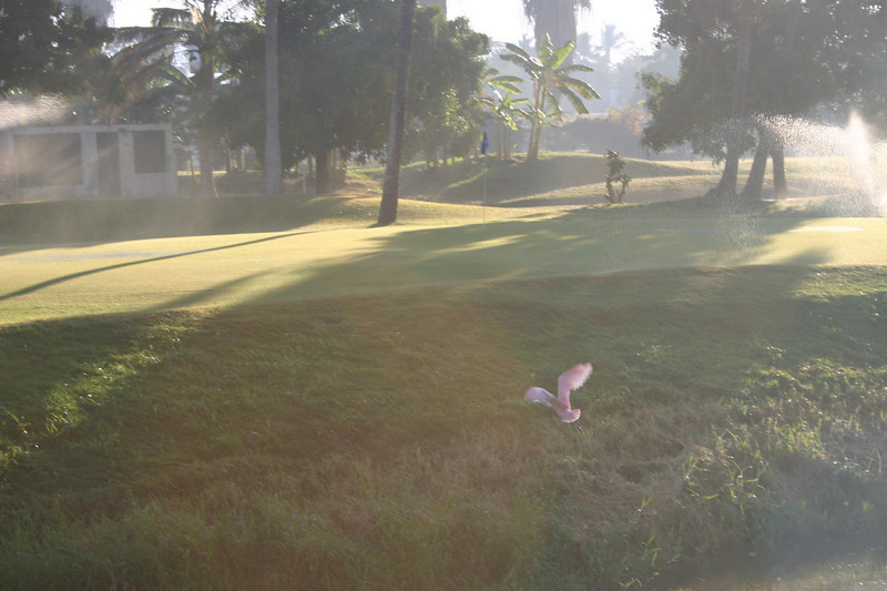 I went for a walk through the golf course early one morning.  I managed to catch a photo of a pink flamingo in flight.