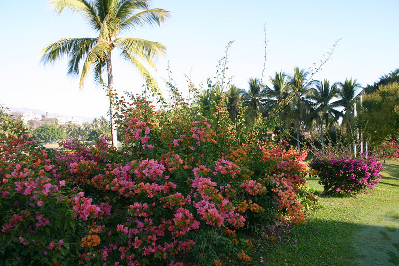 This is bougainvvillea, which grows as both a shrub and a vine.  It is native to South and Central America. It seems to require a lot of water, as we noted that in the hotel zone, workers seemed to water them each morning.