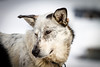 20130301AlaskaIditarodTrip__MG_0666_3170