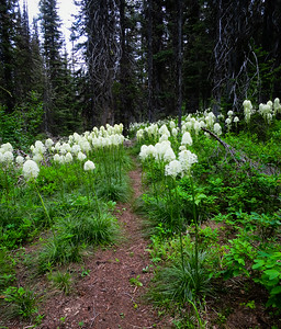 Blooming Beargrass flowers the size of my hands!