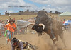 A Bull Rider in deep trouble at Murrumbateman, Matt Darmody to the rescue!