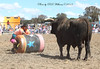 "Matt rolls the barrel with Nick ""Pollie"" Pollack inside, towards the brindle bull at Murrumbateman Rodeo."