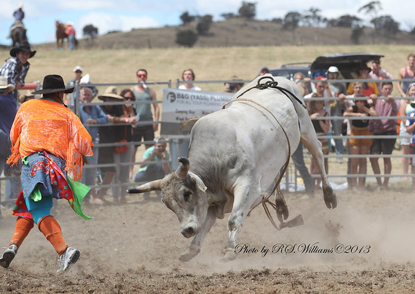 Matt distracts the grey bull while the rider escapes.