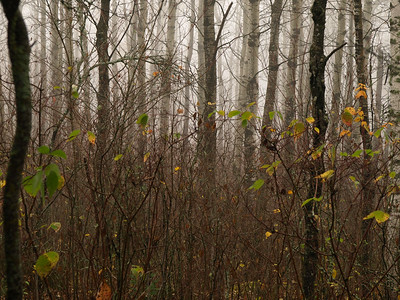 Brush, poplar and fog.   Are we in a fairy tale yet?