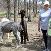 Deby Horner and her grandson, Isaac Cook, stand among some of Horner's alpacas on her Wyandotte farm on Wednesday.<br /> Globe | Laurie Sisk