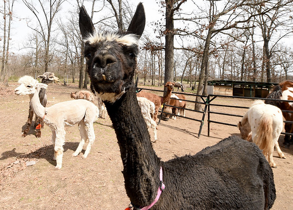 Some of Deby Horner's 27 alpacas meander with other livestock on Horner's Wtandotte farm on Wednesday.<br /> Globe | Laurie Sisk