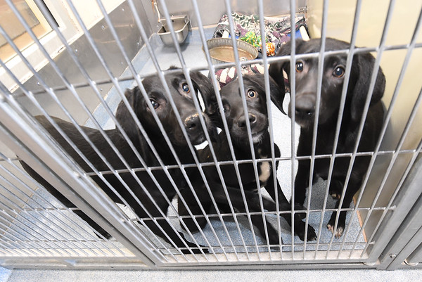 Three puppies share a kennel on Tuesday at the Joplin Humane Society. The JHS is in need of foster families for dogs and cats as their population increases.<br /> Globe   Laurie Sisk