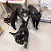 Four young cats await adoption inside their shared space on Tuesday at the Joplin Humane Society. The JHS is in need of foster families for dogs and cats as their population incrases.<br /> Globe | Laurie Sisk