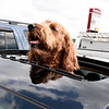 Griffin, a golden doolde, watches the world go by from the sunroof of a vehicle in South Joplin on Tuesday.<br /> Globe | Laurie Sisk