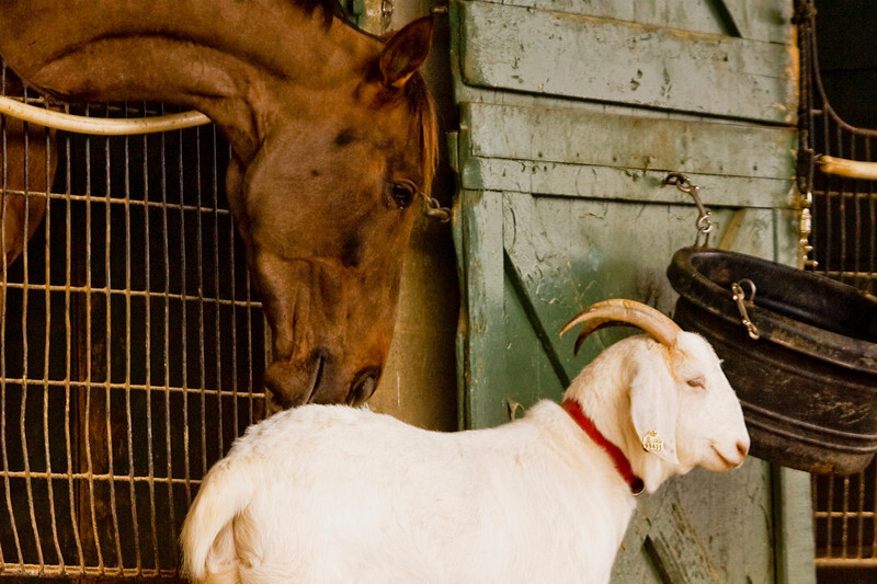 Friends...Because they can have a calming effect on horses,  goats are often placed in the stables.