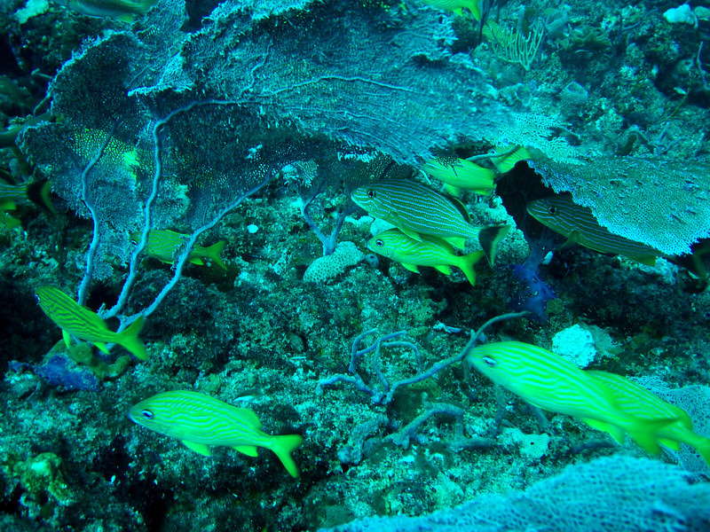 Sea Fans Provide Cover For Various Reef Fish.