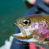 A head shot of a rainbow trout caught with a zebra midge