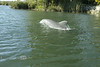 Dolphin Swimming beside us on the Crystal River Florida
