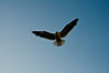 Seagull hovering...