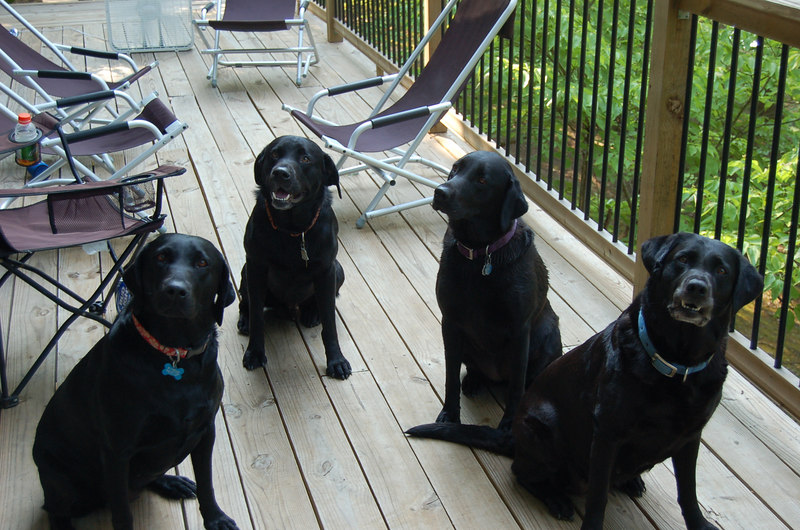 Molly, Jordan, Stella and Suzie...The Brit Lab Pack