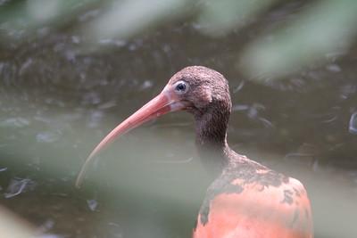 juvenile scarlet ibis