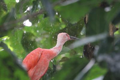 Scarlet Ibis likes the rain