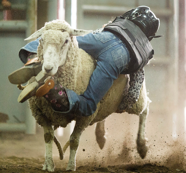 Stavely, Alta _ Aug. 29, 2015 _ True Glover rides her sheep backwards during the Mutton Bustin' event at Stavley's 54th Annual Amateur Rodeo Aug. 29.  (Mike Sturk photo)