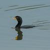 Cormorant swimming.