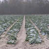 The scenery on our run includes many fields of produce including cabbage that grows through the winter.