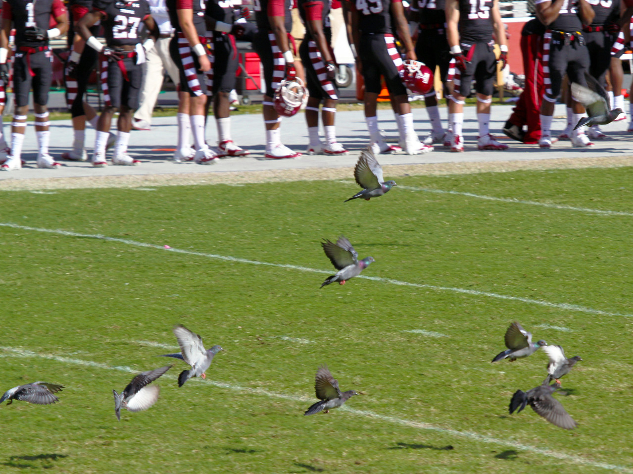 Pigeons played their own game throughout the entire football game