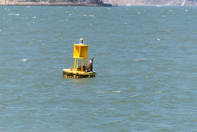 A Sea lion  watches from the buoy.