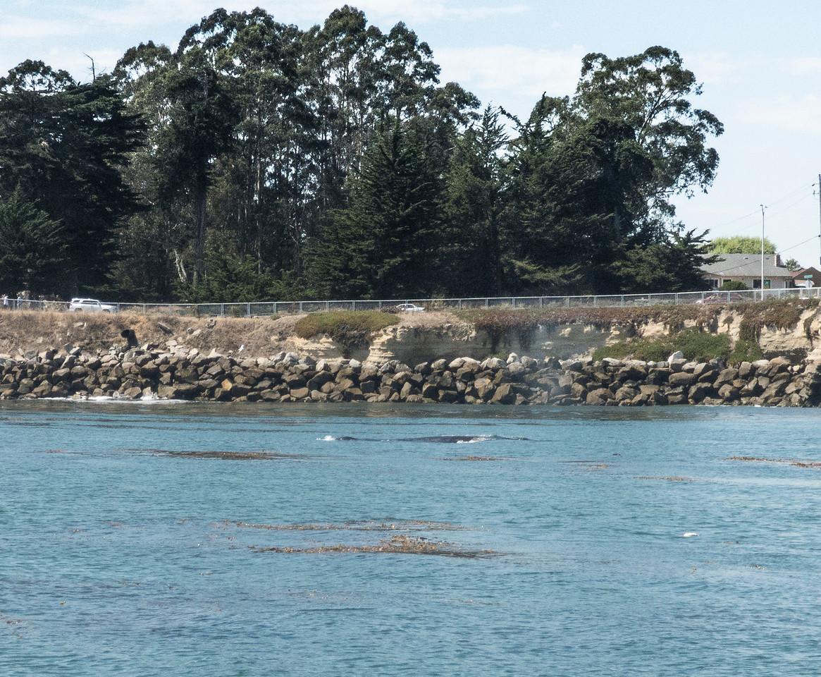 Humpback whale near shore