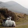 Da liddle baby lamb