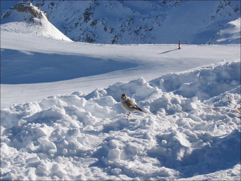 snow bird (Val Thorens)