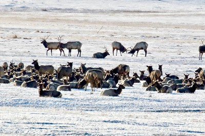 Elk Wintering at Jackson Hole WY