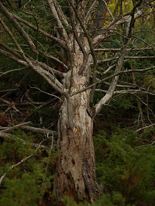 Old pine near my tent on top of the campsite ridge very early on Sunday morning.