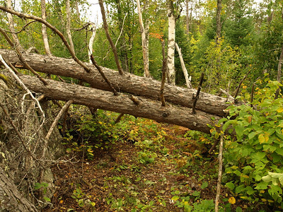 The last two trees.  Eva made us cut them before we could go sight seeing at the Snowbank outlet.  I was tired, but it felt good to cut these two falls.  Back at home, I sleep a lot better now knowing that we finished the job.