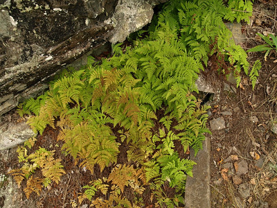Friendly ferns at the base of the cliff.