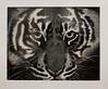 079 Ito-White Tiger