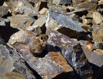 A pika ignoring us, looking at the view.