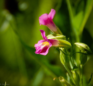 Monkeyflower, only near water.