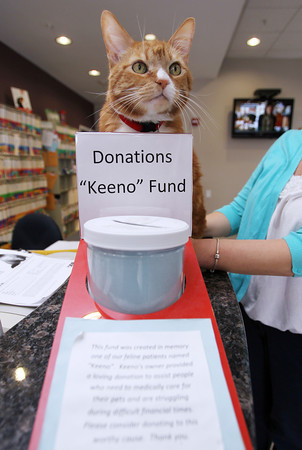 """Peabody: Skippy, the house cat at Northeast Veterinary Hospital on Lowell St. in Peabody, peers over the top of the """"Keeno"""" Fund Donations jar that sits on the counter inside the clinic. David Le/Salem News"""