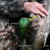 Dennis Noffke shows some of the bright colors on a drake Mallard after being shot during a duck hunt on Lake Mattoon on Saturday, November 15, 2008. (Jay Grabiec/Staff Photographer)
