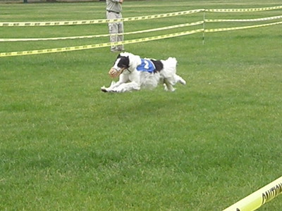 Borzoi Straight Racing
