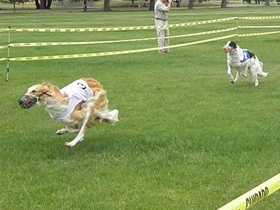 Straight Racing Borzoi
