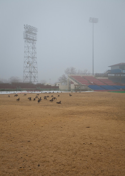 Geese in the outfield