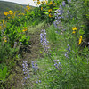 Wildflowers in purple and yellow, lupine and balsamroot.